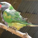Китайский кольчатый попугай - разговорчивый вид