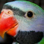 Китайский кольчатый попугай - уход
