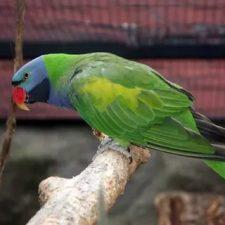 Китайский кольчатый попугай - умный вид