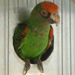 Конголезский попугай - описание вида