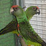 Конголезский попугай - содержание