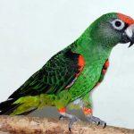 Конголезский попугай - уход