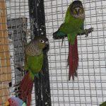 Краснохвостый попугай -описание вида