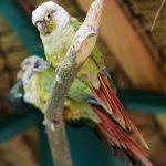 Краснохвостый попугай - особенности вида