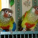 Краснохвостый попугай - уход