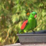 Краснокрылый попугай - активный вид
