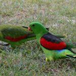 Краснокрылый попугай - миролюбивый вид