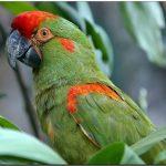 Красноухий ара - описание вида