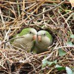 Монаший попугай - активный вид