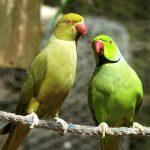 Ожереловый попугай - доброжелательный вид