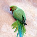 Ожереловый попугай - описание вида