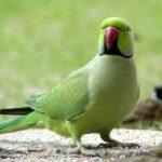 Ожереловый попугай - умный вид