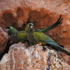 Патагонский попугай - игривый вид