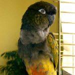 Патагонский попугай - особенности вида