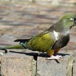 Патагонский попугай - стайный вид