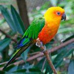 Попугай аратинга - описание вида