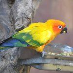 Попугай аратинга - забавный вид