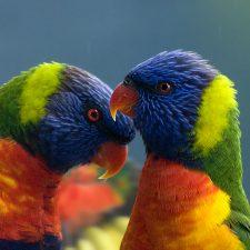Радужный лорикет - дружелюбный вид