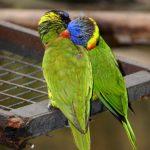 Радужный лорикет - особенности вида