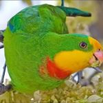 Роскошный баррабандов попугай - уход