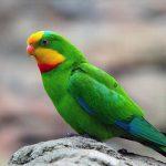 Роскошный баррабандов попугай - содержание