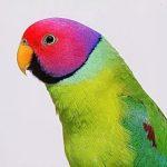 Сливоголовый попугай - уход