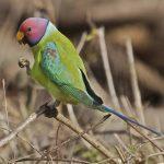 Сливоголовый попугай - выносливый вид