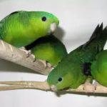 Толстоклювый попугай - особенности вида