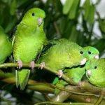 Толстоклювый попугай - содержание