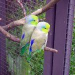 Воробьиный попугайчик - любят внимание