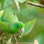 Воробьиный попугайчик - описание вида