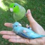 Воробьиный попугайчик - уход