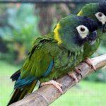 Желтошейный ара - любознательный вид