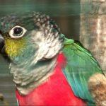 Жемчужный попугайчик - игривый вид