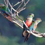 Жемчужный попугайчик - содержание
