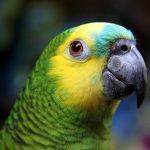Амазон - описание вида