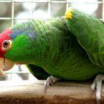 Амазон - особенности вида