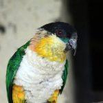 Черноголовый белобрюхий попугай - игривый вид