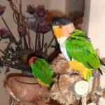 Черноголовый белобрюхий попугай - описание вида