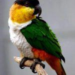 Черноголовый белобрюхий попугай - содержание