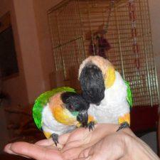 Черноголовый белобрюхий попугай - умный вид