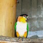 Черноголовый белобрюхий попугай - забавный вид