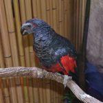 Грифовый попугай - крупный вид