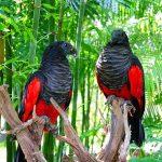 Грифовый попугай - описание вида