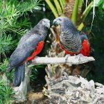 Грифовый попугай - содержание