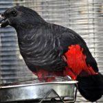 Грифовый попугай - уход