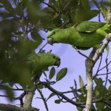 Короткохвостый попугай - доброжелательный вид