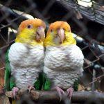 Рыжеголовый белобрюхий попугай - дружелюбный вид