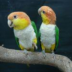 Рыжеголовый белобрюхий попугай - содержание
