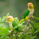 Рыжеголовый белобрюхий попугай - уход
